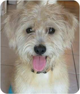 Humfrey Adopted Dog Plainfield Il Cairn Terrier Wheaten