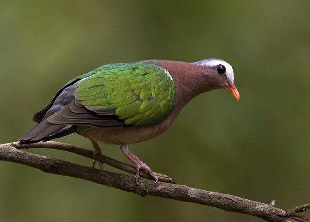 emerald_dove1_ns.jpg (640×459)