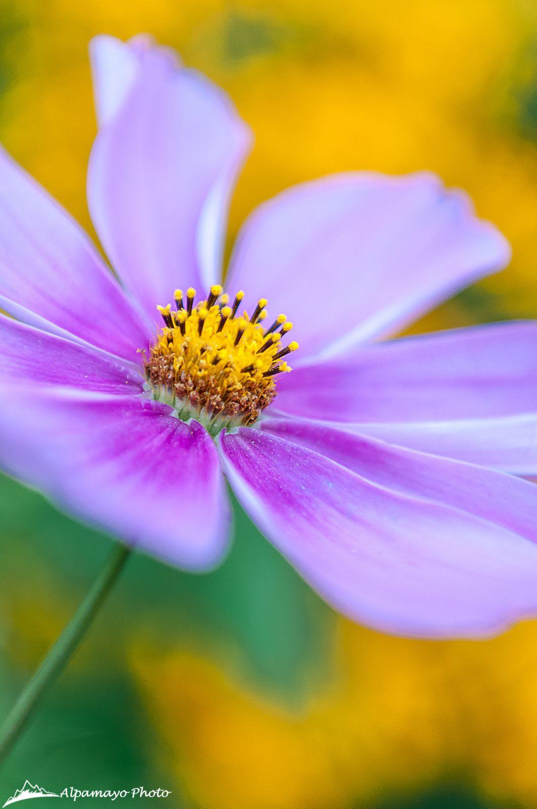 Cosmos Flower By Alpamayophoto On 500px Native Garden Birds And