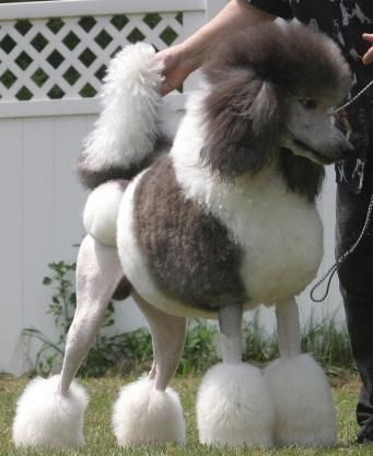 Silver White Parti Color Standard Poodle U Grch Tintlet