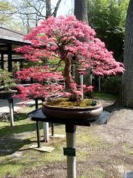 Resultado de imagen para flamboyant bonsai