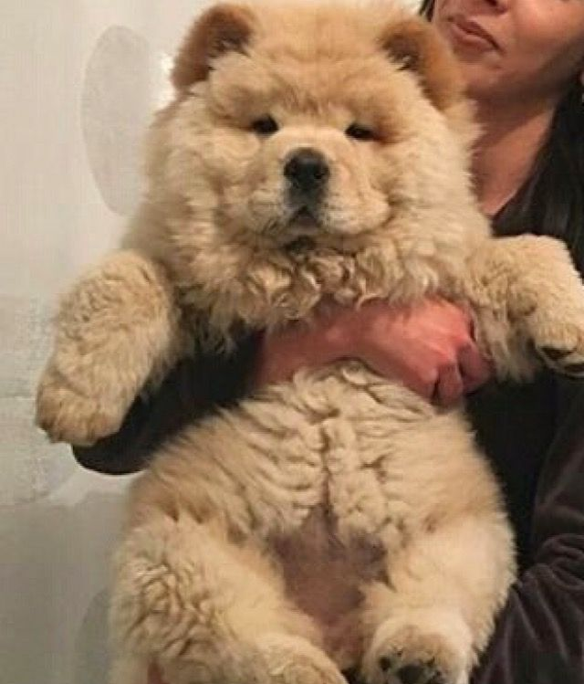 Chow Chow Cute Baby Animals Cute Animals Fluffy Dogs