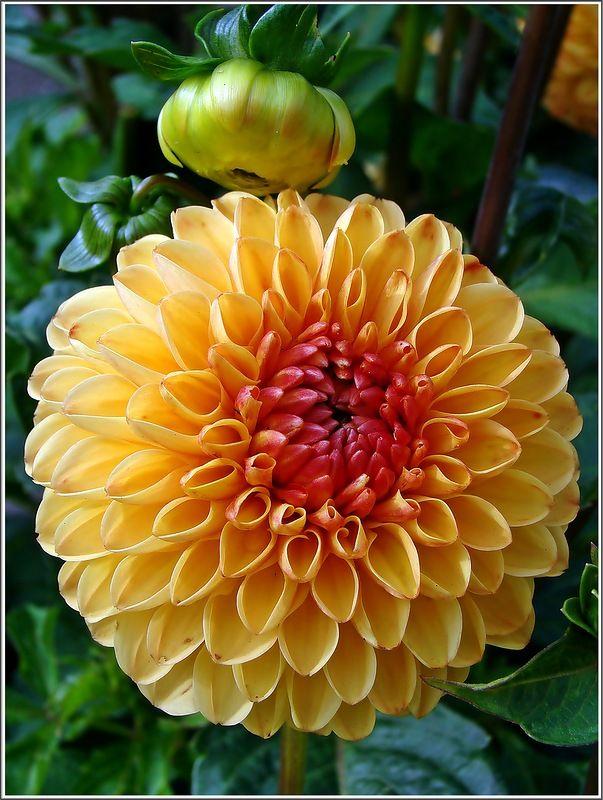 Souvenir d 39 ete flores clavel y ra ces for Plantas ornamentales clavel
