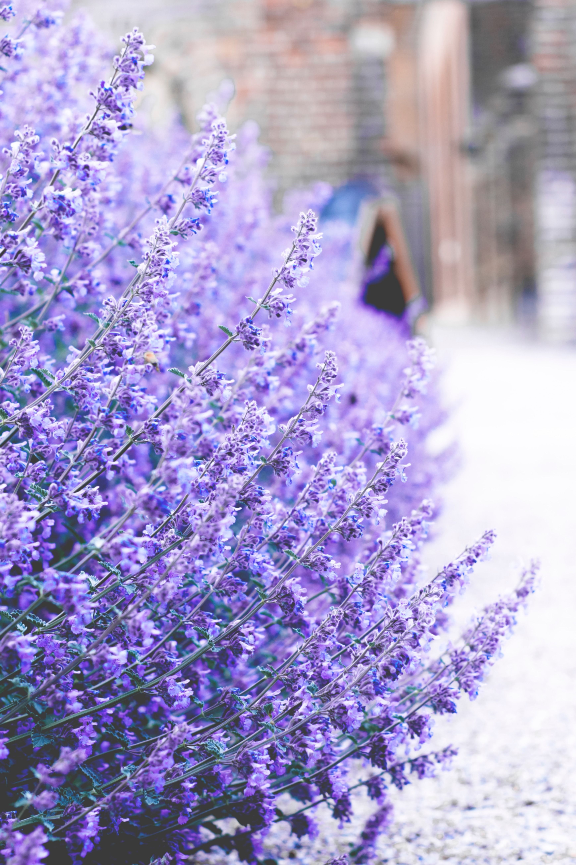 Grow These Edible Herbs That Keep Weeds Away Sunset Lavender Wedding Flowers Perennials Lavender Garden