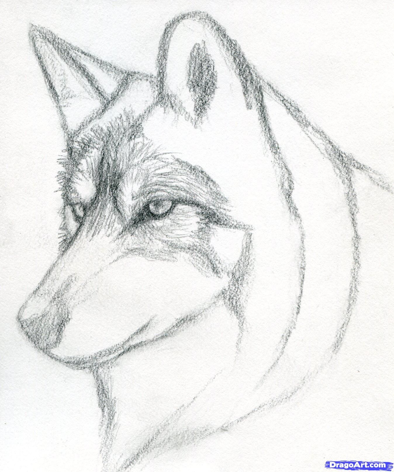 How To Draw A Wolf Head, Mexican Wolf Step 4