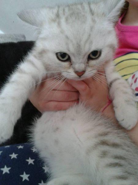 Bkh Kitten Katzenbabys Katzenbabys Kaufen Bkh Kitten