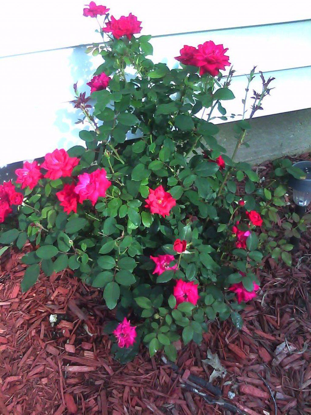 Knockout Roses Are A Beautiful Addition To Any Landscape They Bloom All Year Great For Fresh Cut Flowers And Easy Maintain