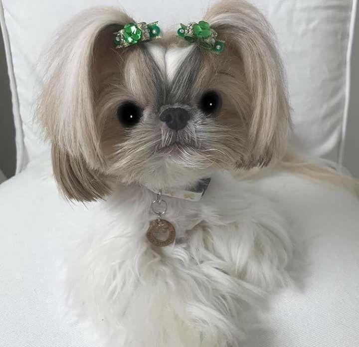 Pin By Dominic Taylor On Shih Tzu Dogs Shih Tzu Puppy Shih Tzu