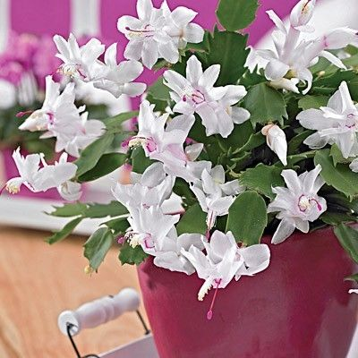 White Christmas Cactus Christmas Easter  Thanksgiving cactus