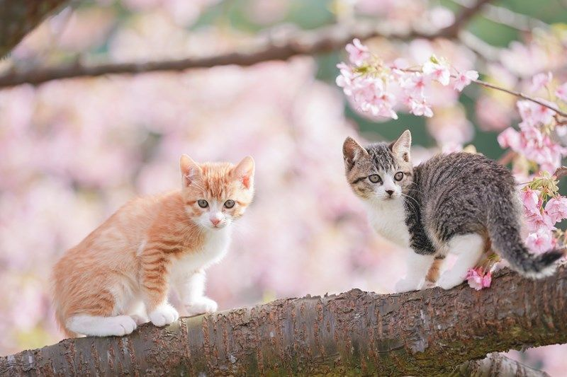 Japanese Photographer Captures Two Photogenic Kittens Playing On A Cherry Blossom Tree Kittens Playing Kittens Cutest Kittens