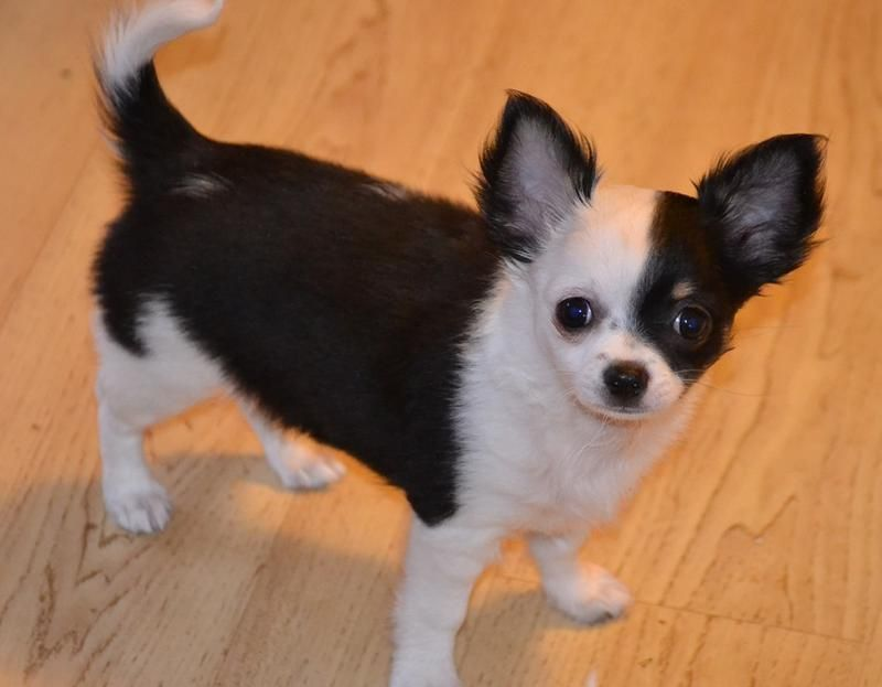 Chihuahuas Teacup Long Haired Chihuahua Puppies For Sale