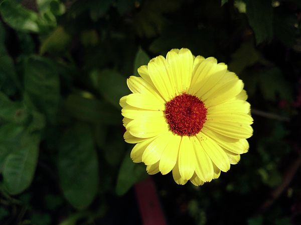 A beautiful yellow flower in full bloom the flower is surrounded a beautiful yellow flower in full bloom the flower is surrounded by green leaves on all sides and the flower has a beautiful red center mightylinksfo