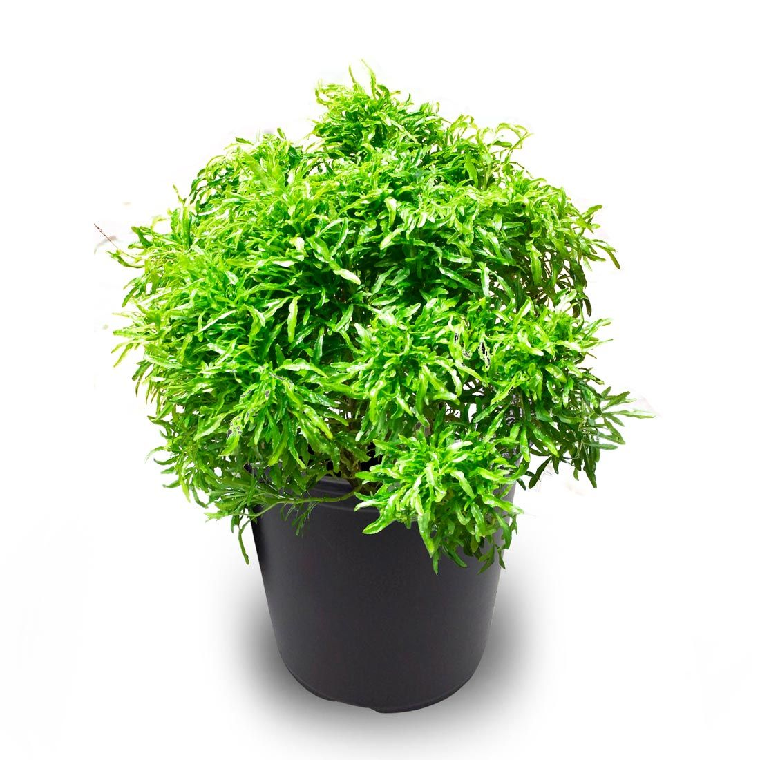 Buy Ball Aralia Plant Online Plants Climber Plants Indoor Plants