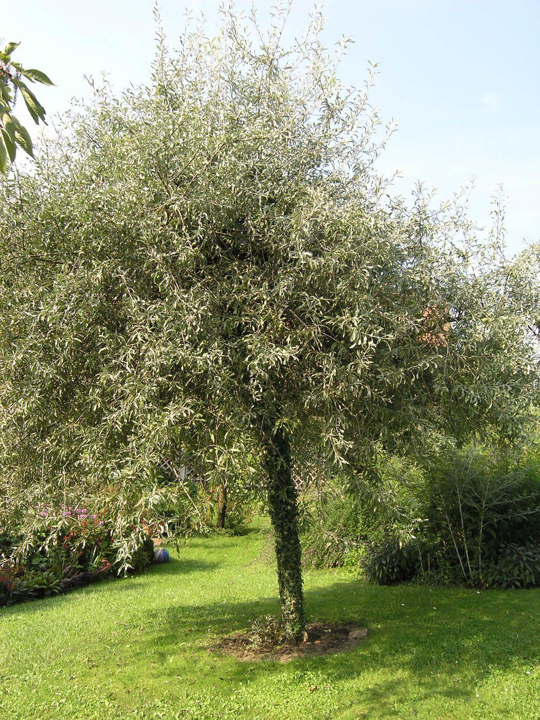 Schnellwachsende Bäume Für Kleine Gärten