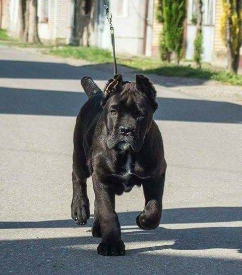 Pin By Asif Athwal17 On The Dogs Cane Corso Puppies Dogs Cane Corso