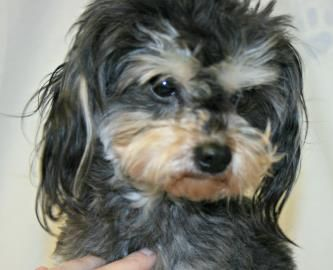 Petango Com Meet A Available For Adoption In Terrier Dogs Pets