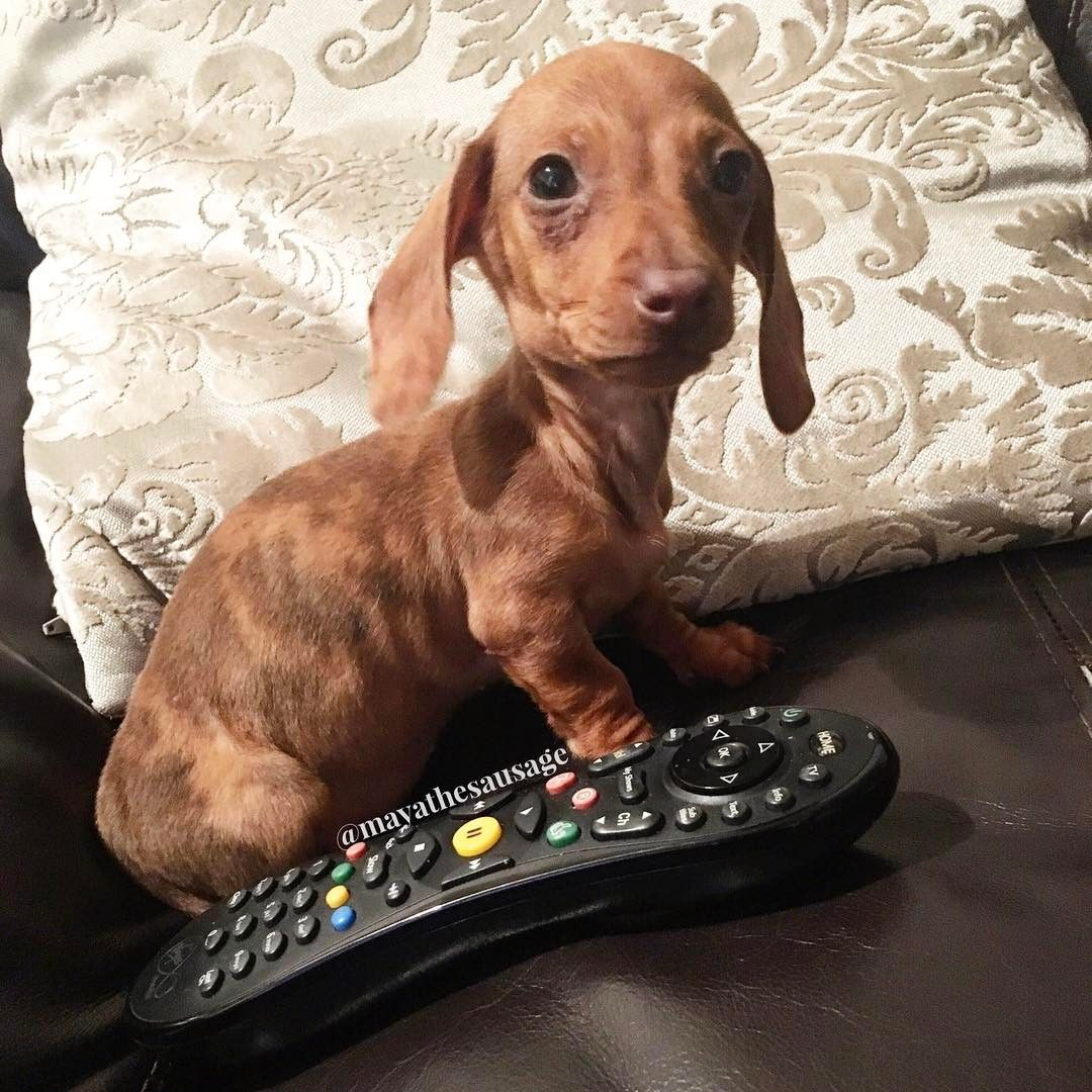 Tiny Rabbit Dachshund Dapple Dachshund Clever Dog Dapple