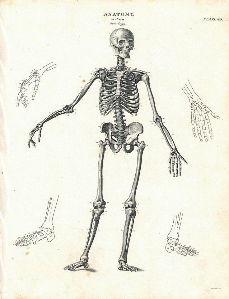 human skeleton osteology antique anatomy print 1834 | anatomy, Skeleton