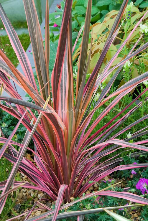 Cordyline Australis Southern Splendour Cabbage Palm Showing Entire Plant Habit Variegated Pink Red Orang Variegated Plants Flower Stock Photography Plants