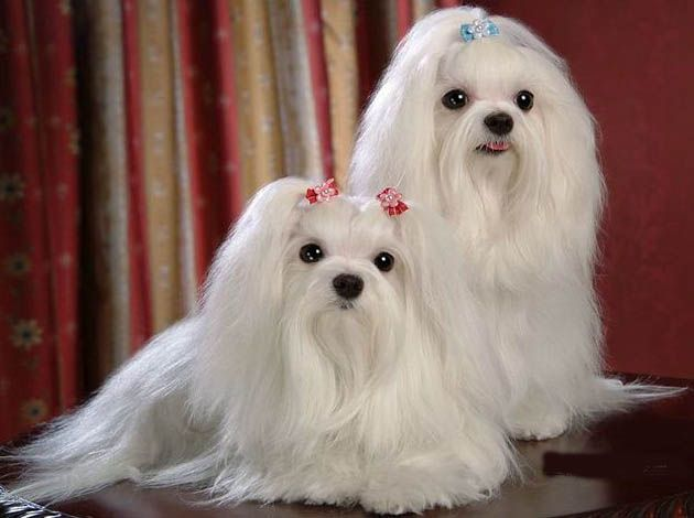 Maltese Puppies Price In India Zoe Fans Blog With Images