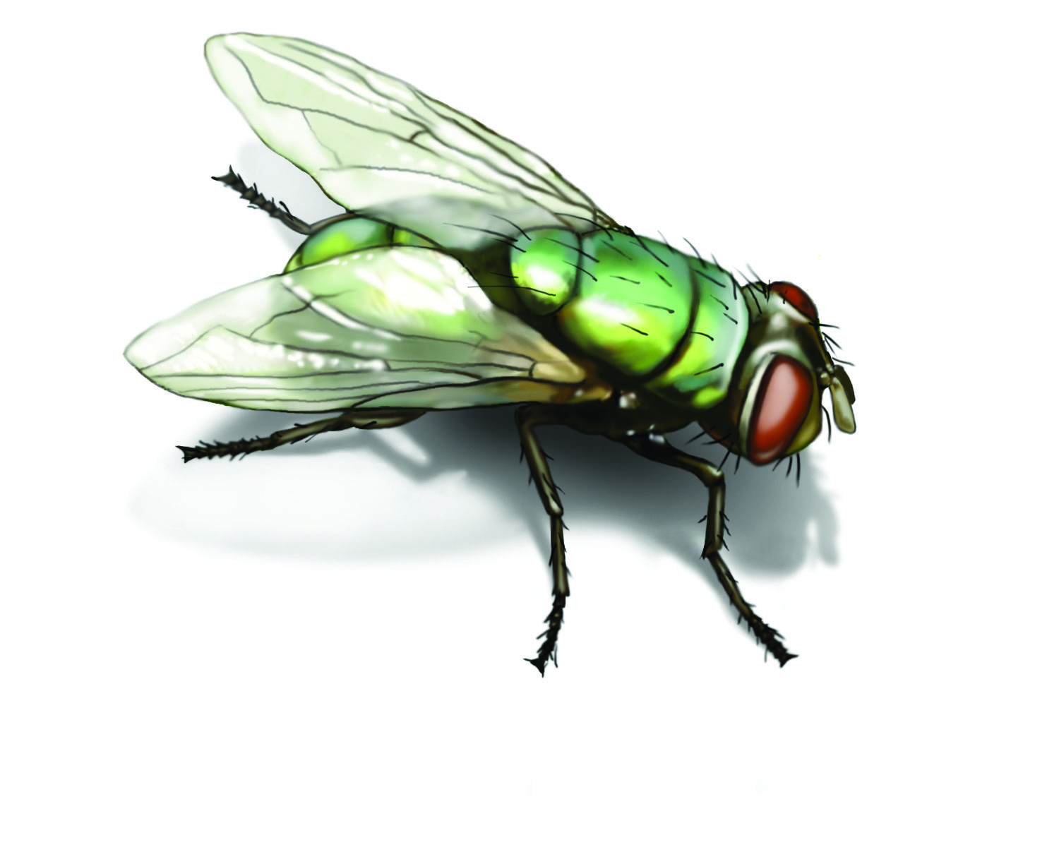 cd5f42e9b5dec6ccf18db15abe358520 - How To Get Rid Of Common Green Bottle Fly