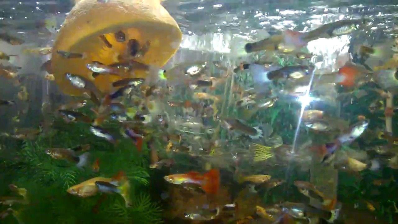 Giving vitamin C to the fish Guppy fish eat Orange