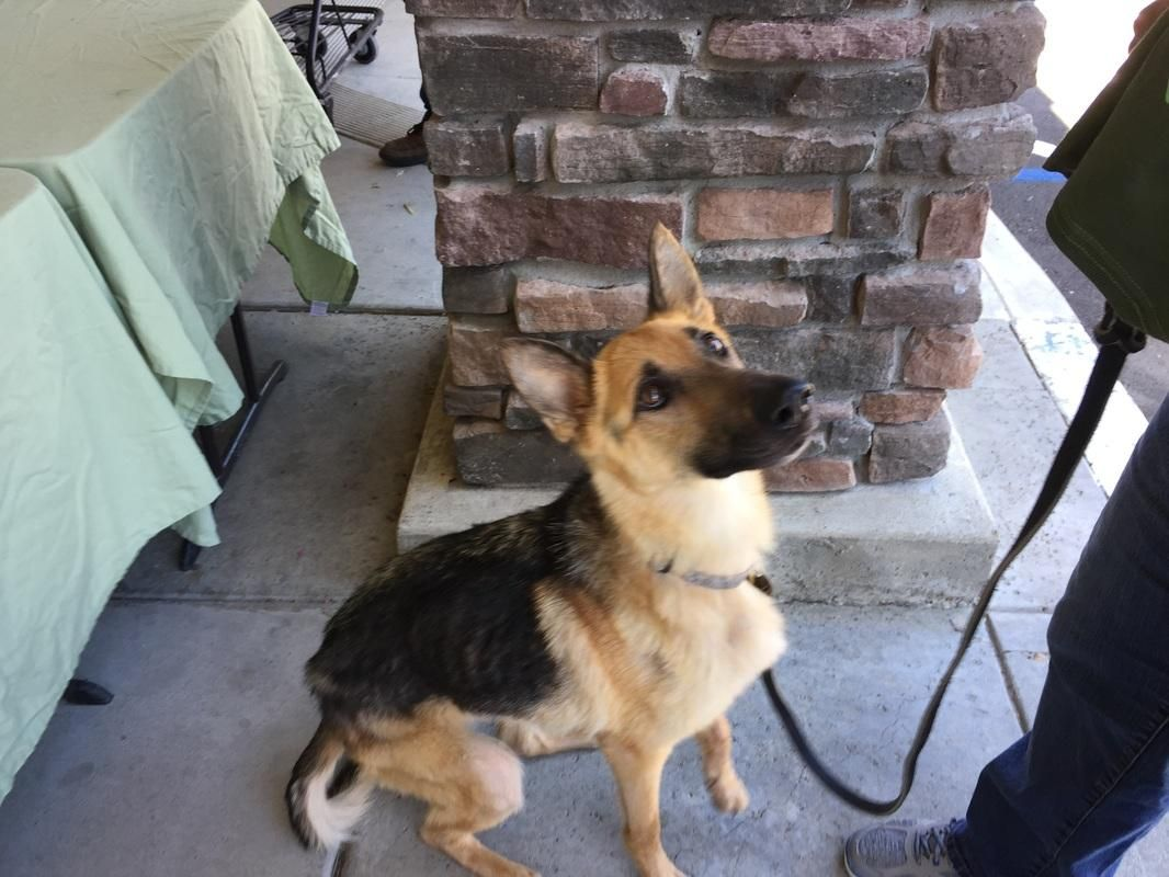 Adopt Destiny On German Shepherd Dogs Dogs German Shepherd Rescue