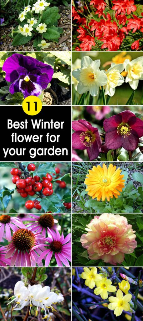 11 Best Winter flower for your garden #wintergardening