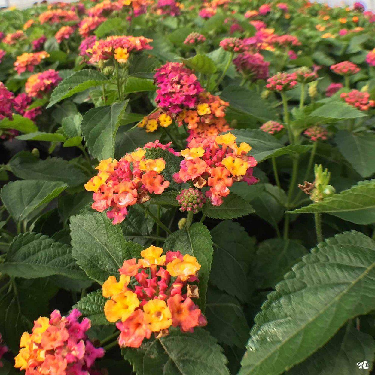 Lantana In 2020 Lantana Lantana Plant Showy Flowers