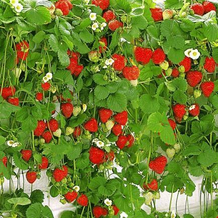 erdbeeren garten pinterest garten pflanzen und erdbeeren pflanzen. Black Bedroom Furniture Sets. Home Design Ideas