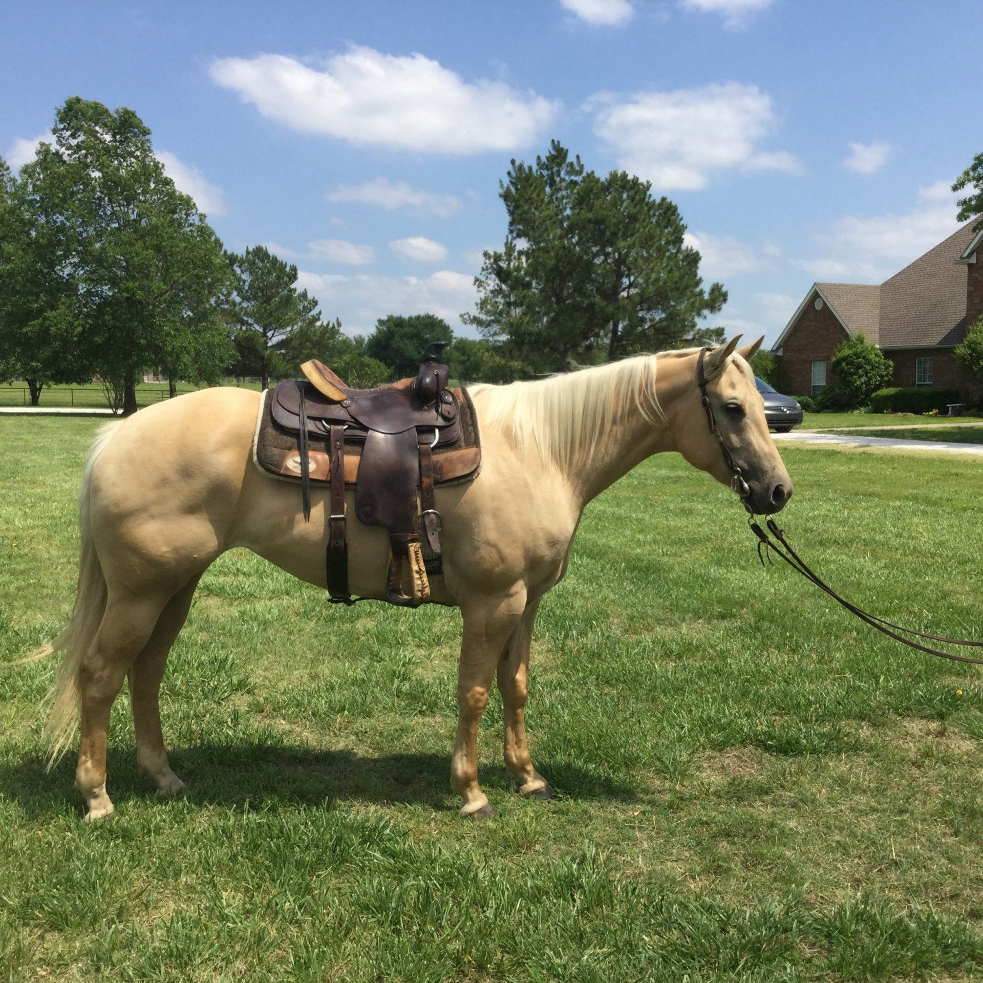 Super Gentle 4 Year Old Palomino Mare