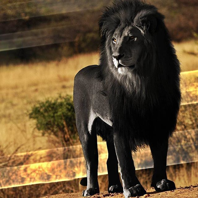The Black Lion Real Or Fake Animals Black Lion Big Cat Family
