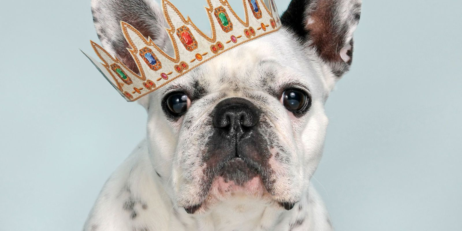 The 29 most expensive dogs to buy and own French bulldog