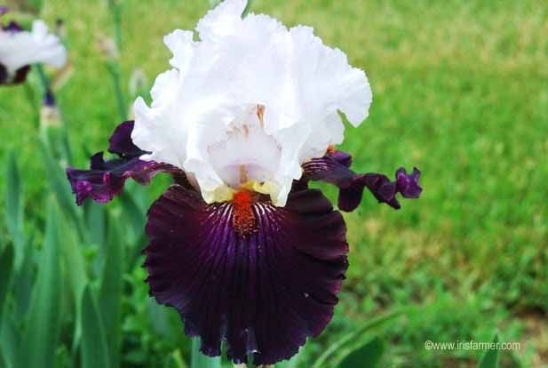 Iris Catalog Irises Bearded Sale Iris Catalog Irises Flower Iris Flowers Iris Farms White Iris