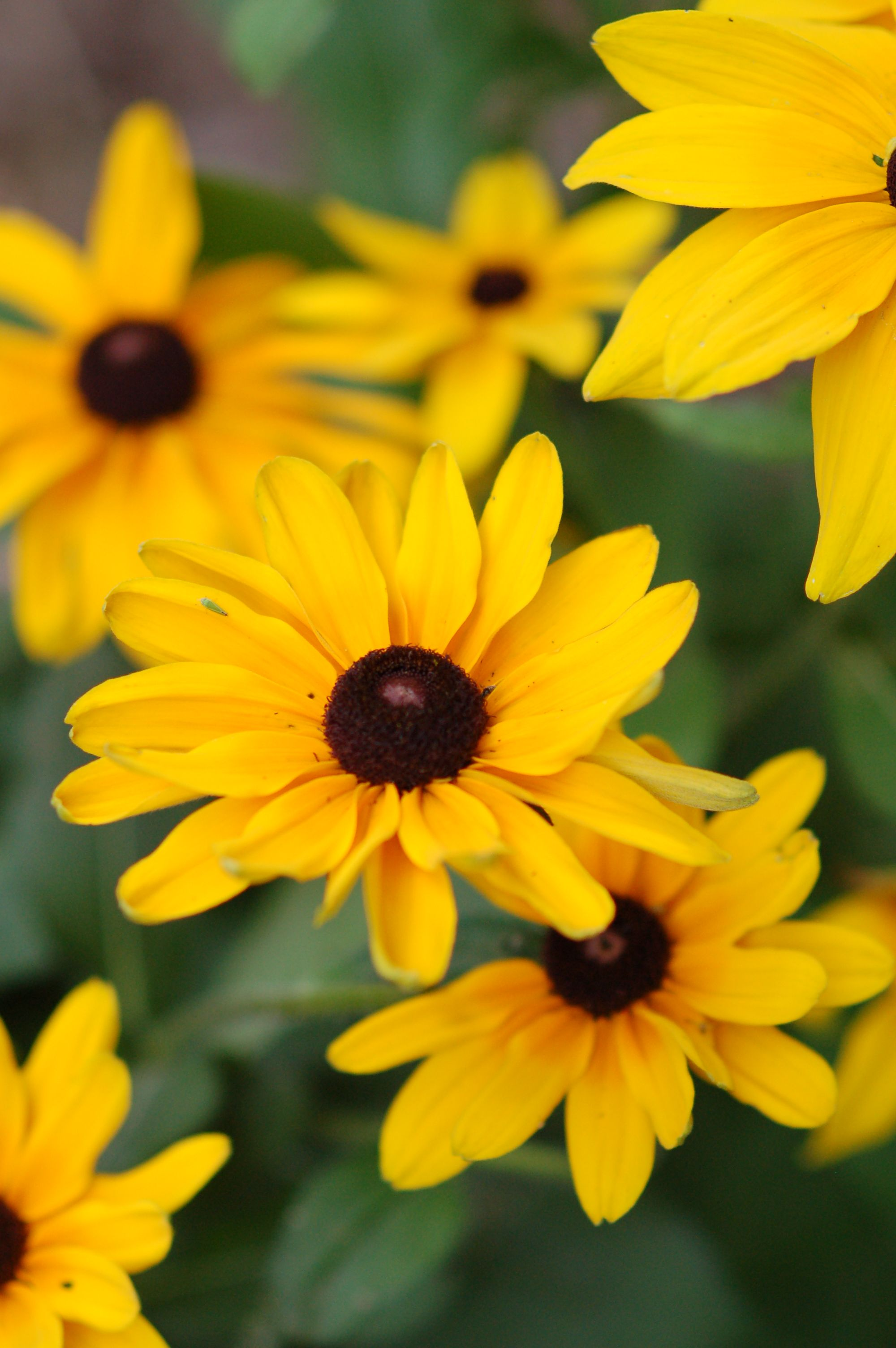 maryland state flower black eyed susans repinned by chesapeake