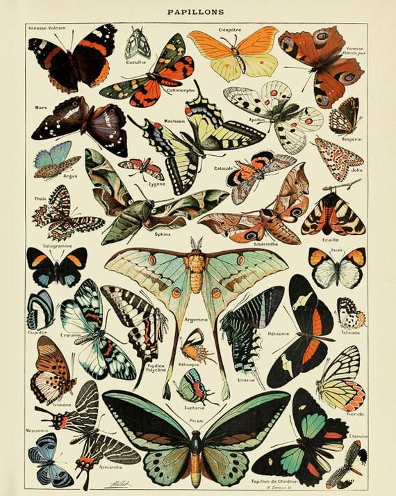 Vintage Butterfly Print, French Insect Chart Butterfly Illustration Biology Poster Wall Art Home Decor #vi1015