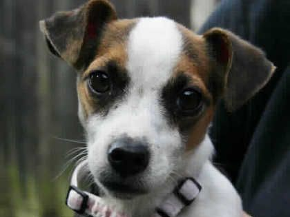 Search Rescue Pets In Need Of Adoption Today Rspca Jack Russell Jack Russell Dogs Jack Russell Terrier