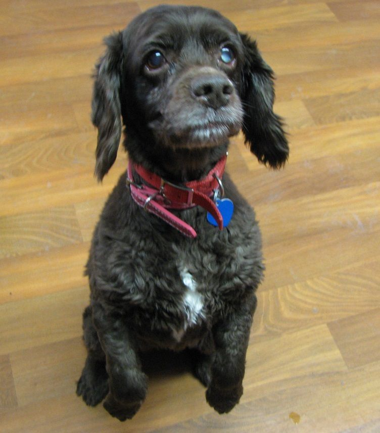 Urgent Adorable Cocker Spaniel Found In East Palestine Ohio Now Needs A Loving Home With Tlc Lisbon Ohio Hi Ther Dog Pounds Adoption Pet Adoption