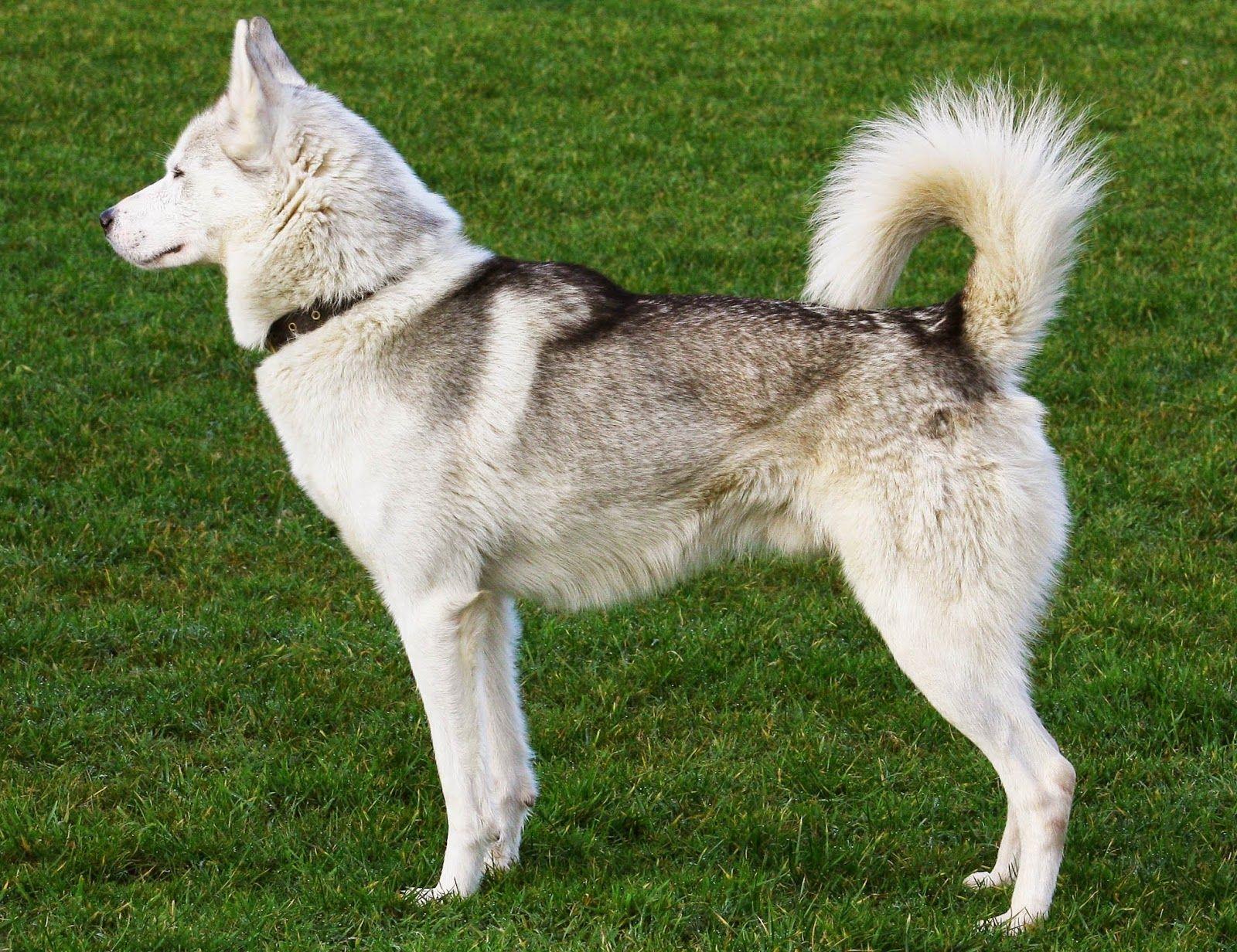 How Big Do Siberian Huskies Get Razas De Perros Perro Siberiano