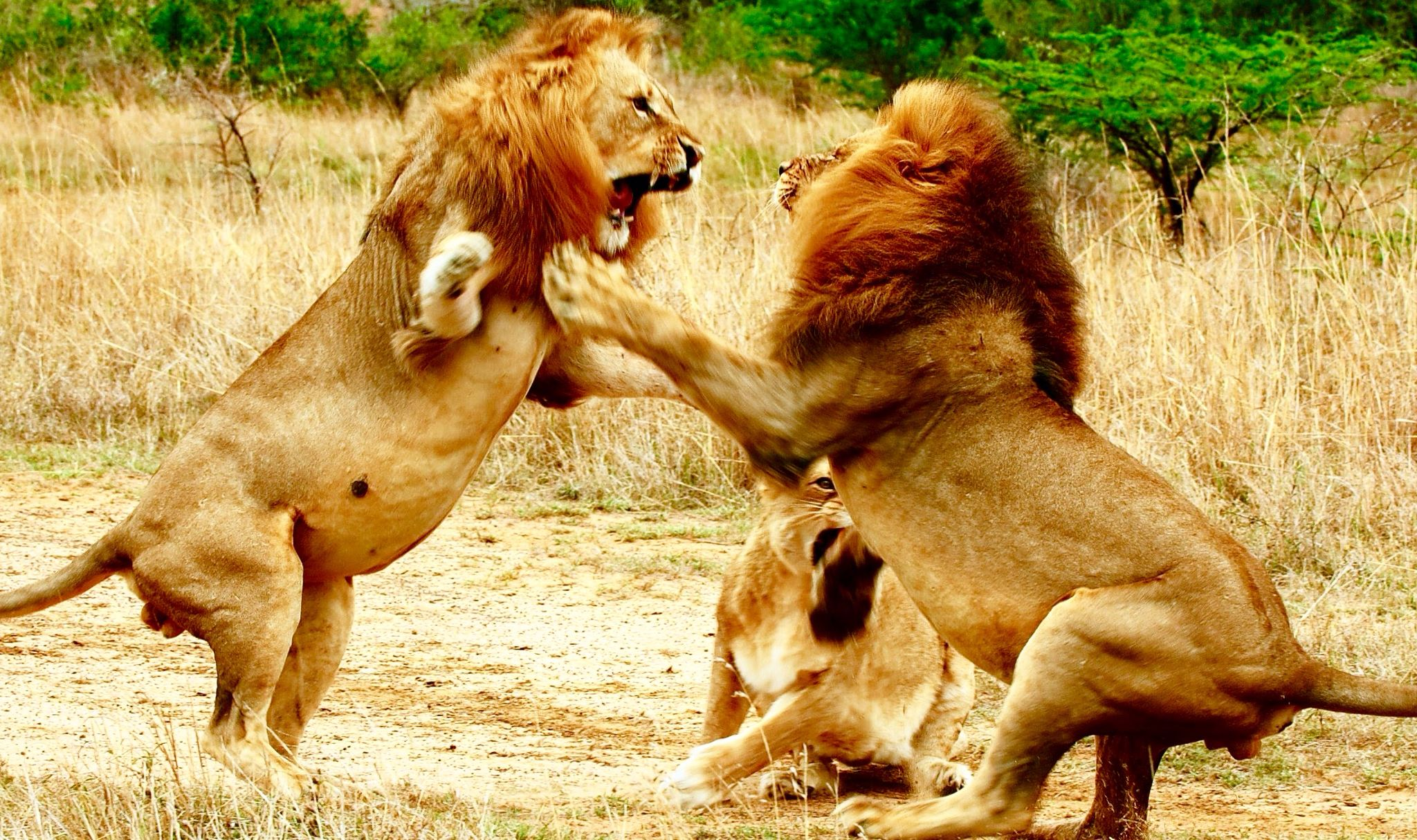 Lions fighting! Animals wild, Wild animals photos, Lion
