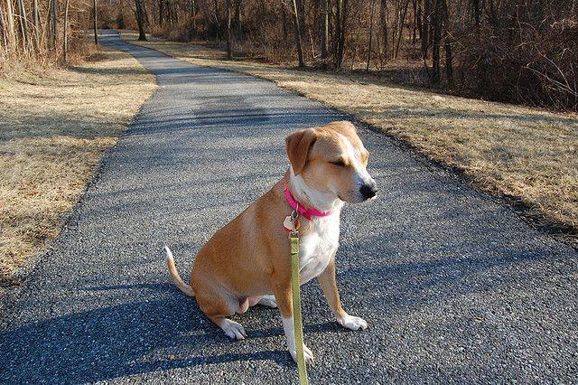 The Beagle Lab Mix Beagle Lab Mixes Dog Breeds Dogs