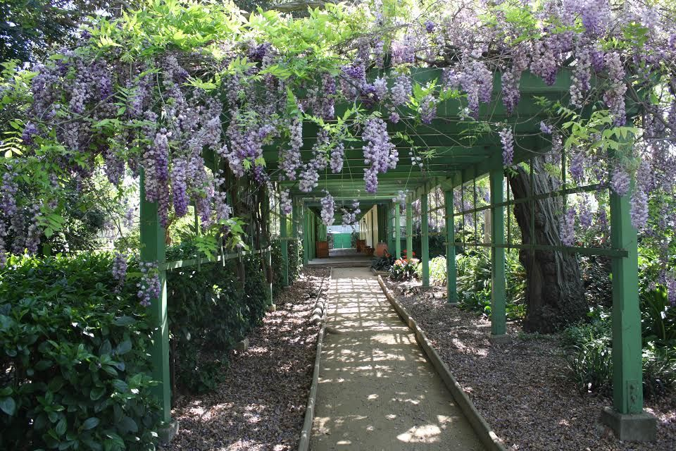 Ring in the beginning of this beautiful spring season with a stroll through the Rancho Los Cerritos historic gardens among the rarely-seen, now-blooming wisteria flowers.