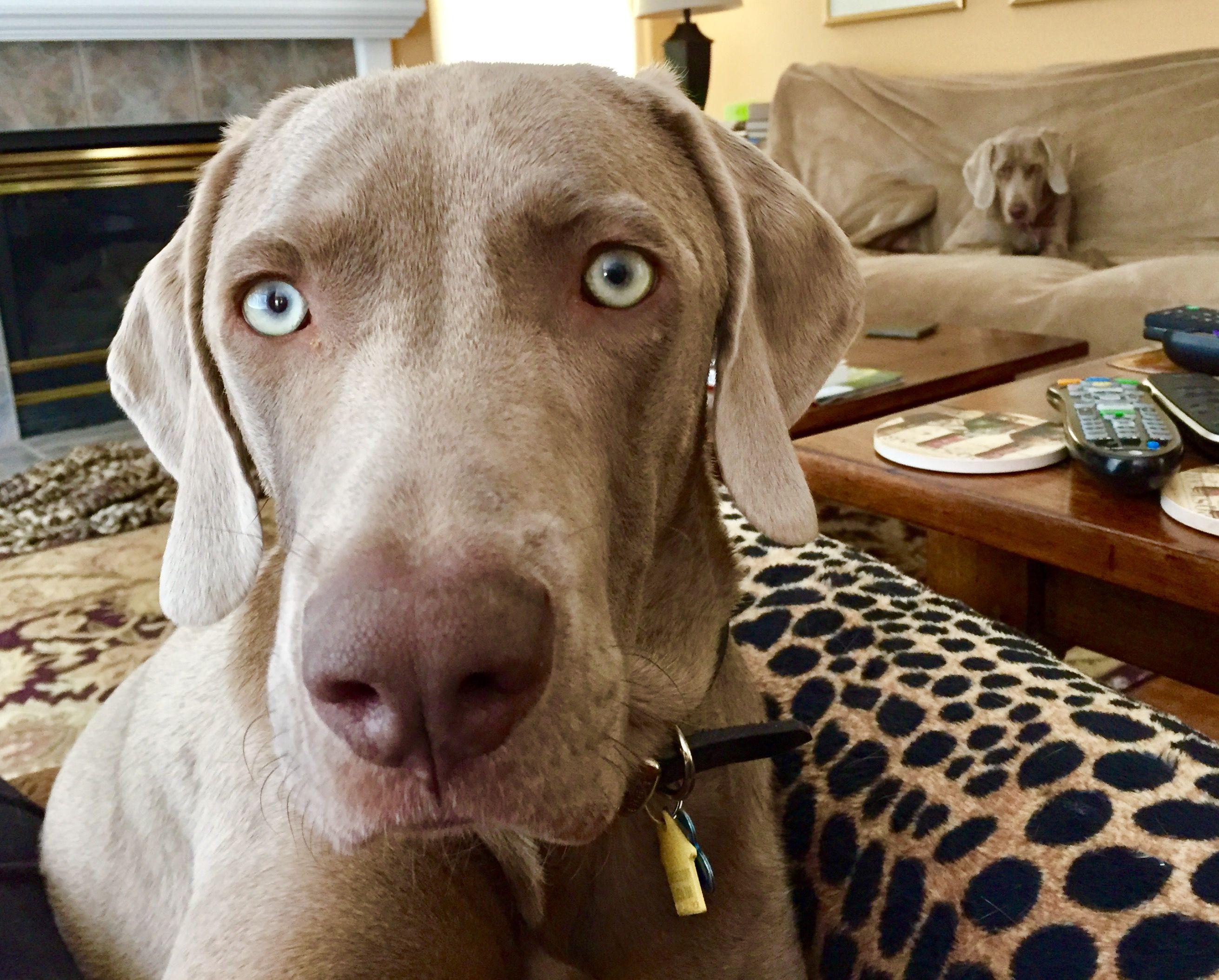 Vizsla puppies for sale northern california