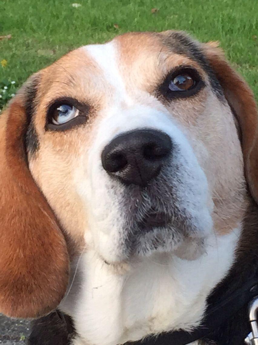 Amazing Beagle Chubby Adorable Dog - cd63f9de4669ebd9ddbf510a2451c797  Gallery_68622  .jpg