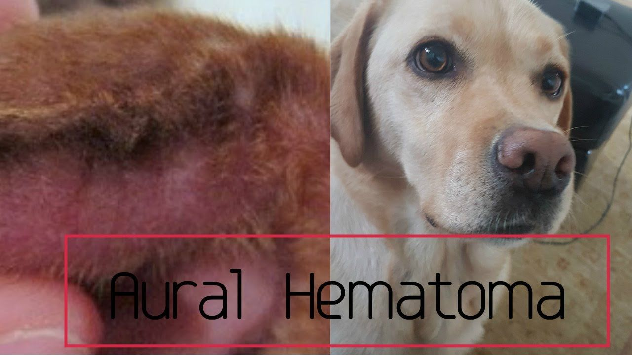 Ear Hematoma In Dogs Aural Hematoma Youtube In 2020 Dog Treatment Dog Remedies Dog Allergies