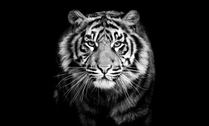 Portrait Predator Tiger Black And White Closeup Photography Beautiful Wallpaper Hd Quality Tiger Images Sumatran Tiger Animals