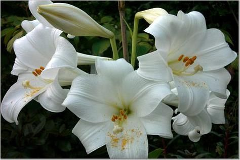 White Lilies Are Pure Flowers Symbolizing Virginity As In The