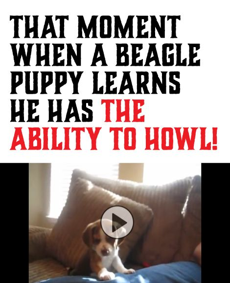 That Moment When A Beagle Puppy Learns He Has The Ability To Howl