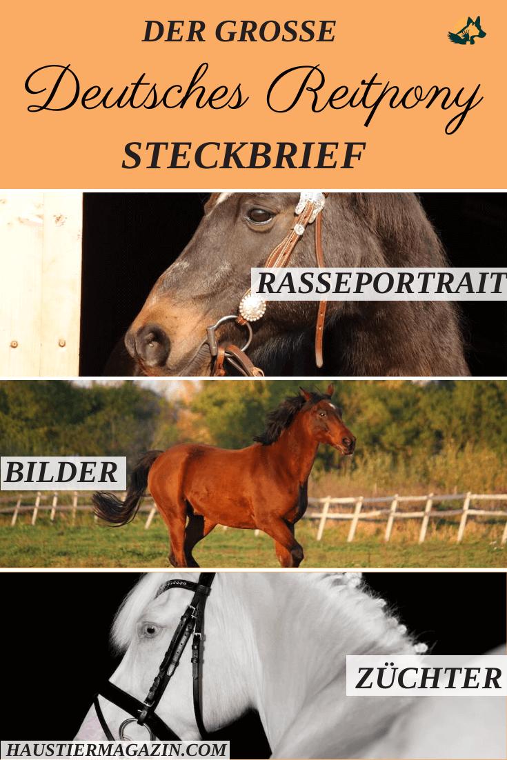 Das Deutsche Reitpony Steckbrief Und Mehr Reitpony