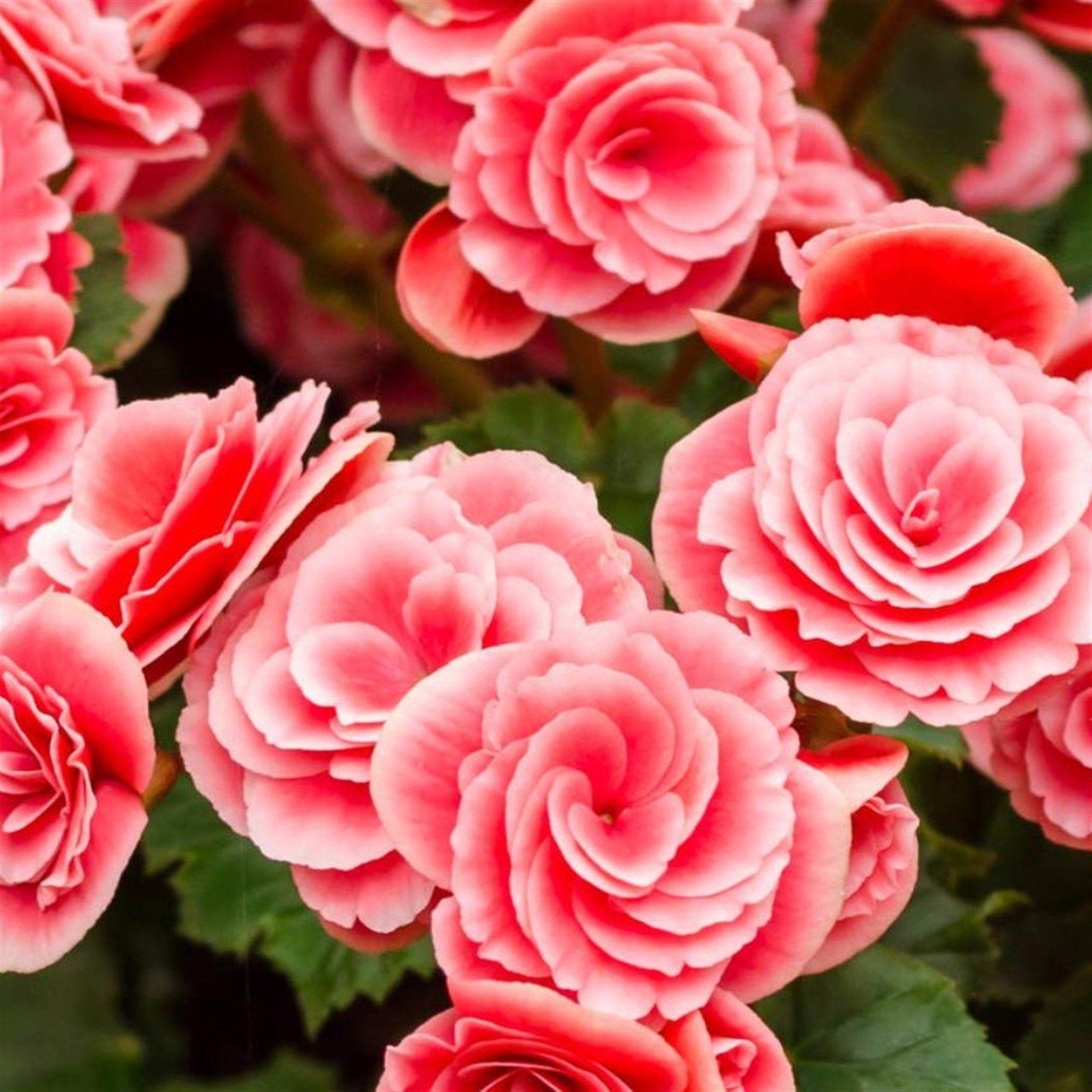 Strawberry Ripple Begonia Flower Bulbs 4 Pack In 2020 Bulb Flowers Flowers Perennials Begonia